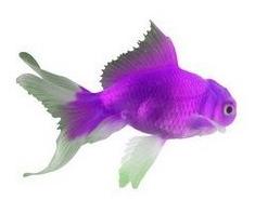Purplegoldfish